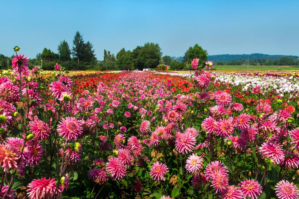 Sea of pink, red, and yellow dahlia flowers at the Swan Island Dahlias farm in Canby, Oregon.