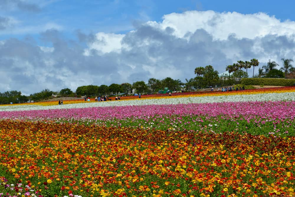 Rows of colorful flowers for as far as the eye can see at the Carlsbad Flower Fields.