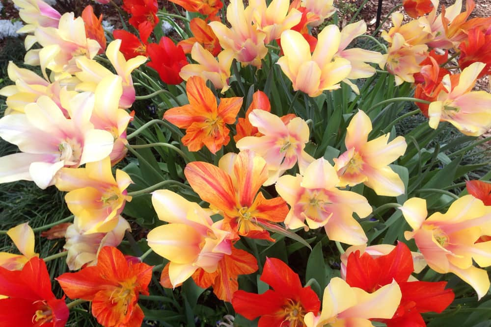 A close up of orange, yellow, and red blooming flowers at the Dallas Blooms at the Dallas Arboretum and Botanical Gardens.