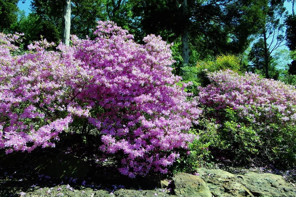 Bushes filled with purple flowers in bloom at the Azalea Festival in Muskogee, Oklahoma.