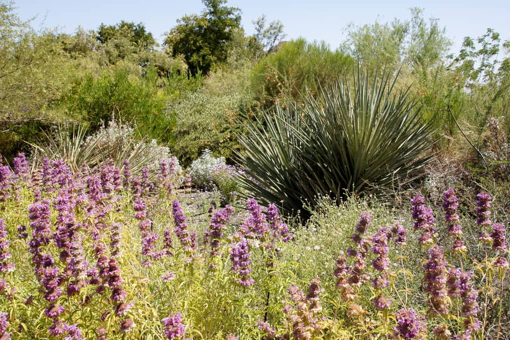 Bursts of purple flowers stand out against the desert scenery at the Desert Botanical Garden in Phoenix, Arizona.