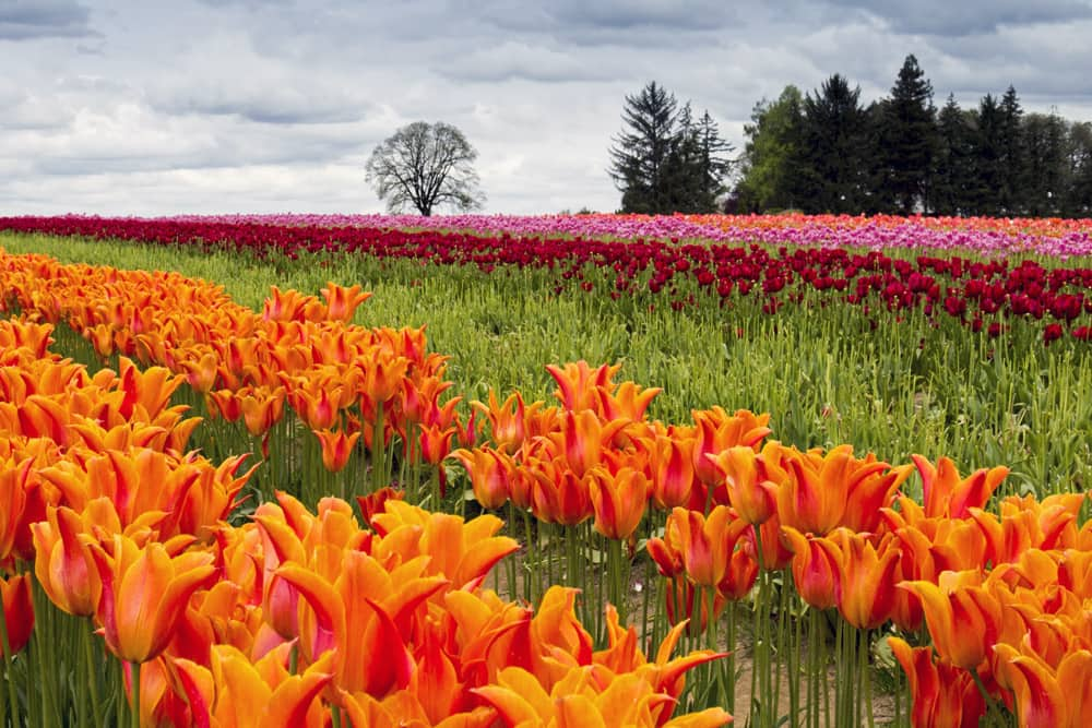 A close up of orange tulips with countless pink and red flowers in the background at the Wooden Shoe Tulip Farm in Oregon.