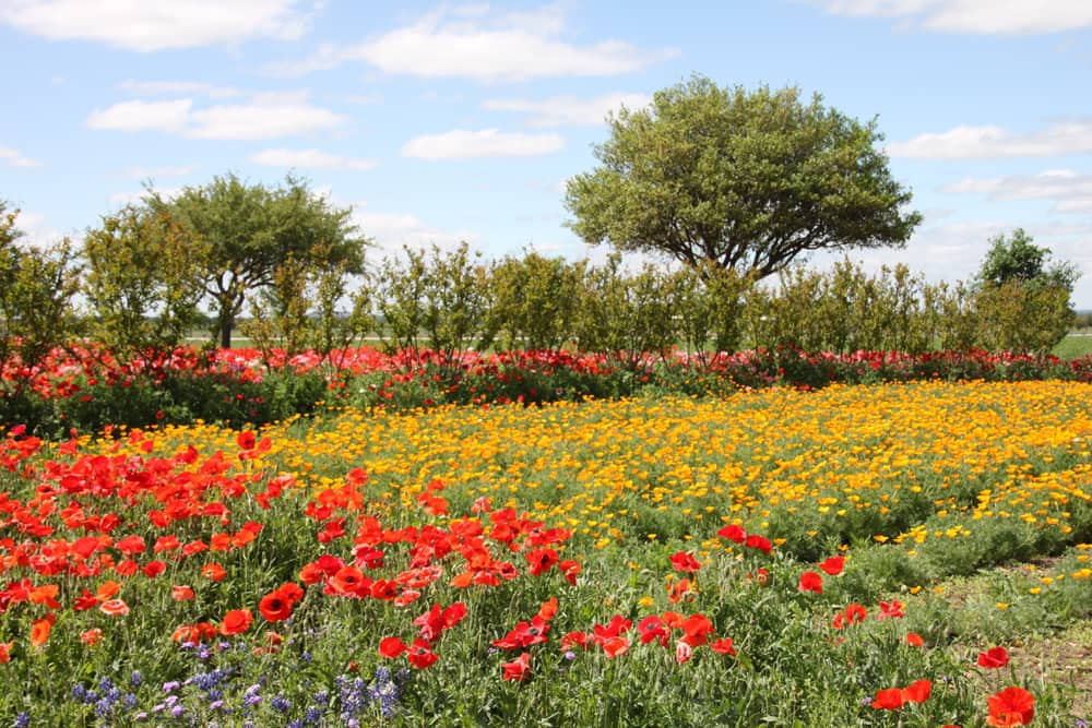 A field of millions of red, yellow, and purple flowers in bloom at Wildseed Farm in Fredericksburg, Texas.