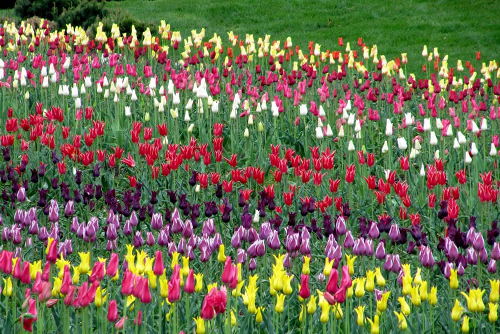 Rows of colorful tulips in bloom during Holland's Tulip Time Festival.