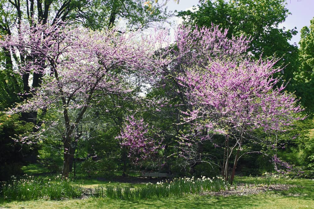 Purple lilac flowers in bloom at the Rochester Lilac Festival.