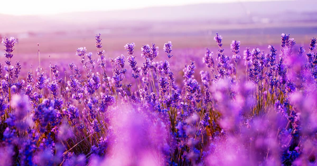 Lavender Field in the summer.