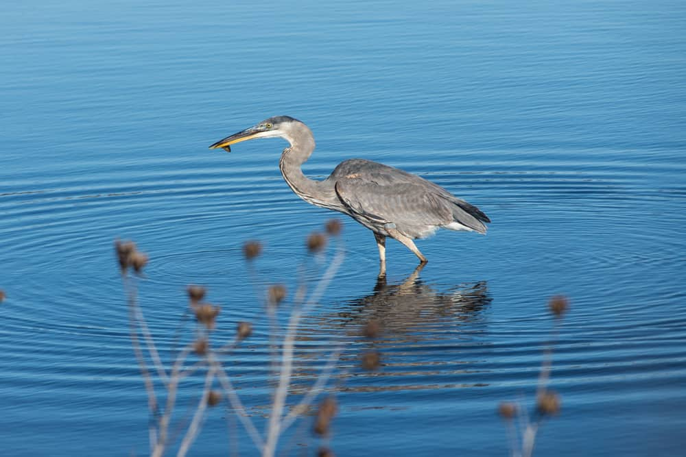 Great blue heron in the water in Cape May—one of the best places to bird watch in America