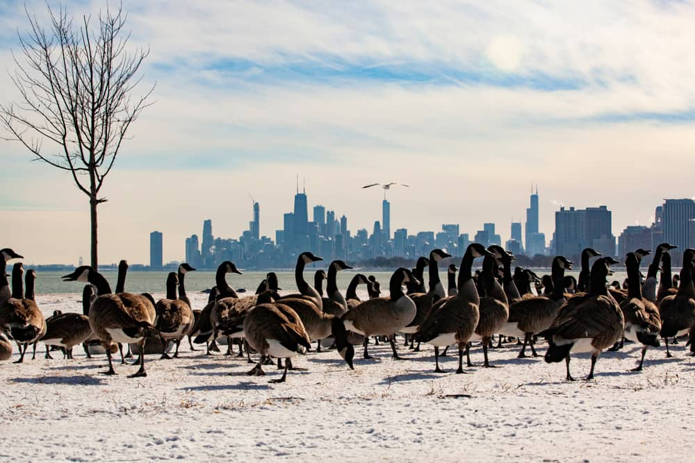 A gaggle of migrating geese in Montrose Harbor, Chicago—one of the best places to bird watch in America