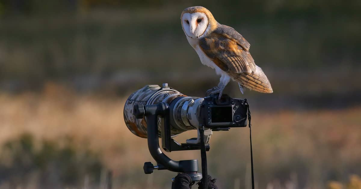 Barn owl in its natural habitat perched on the camera of a bird photographer