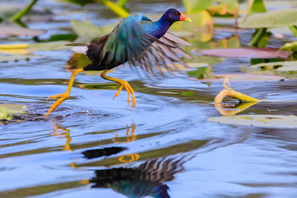 Purple Gallinule bird in Everglades National Park near Homestead—one of the best places to bird watch in America