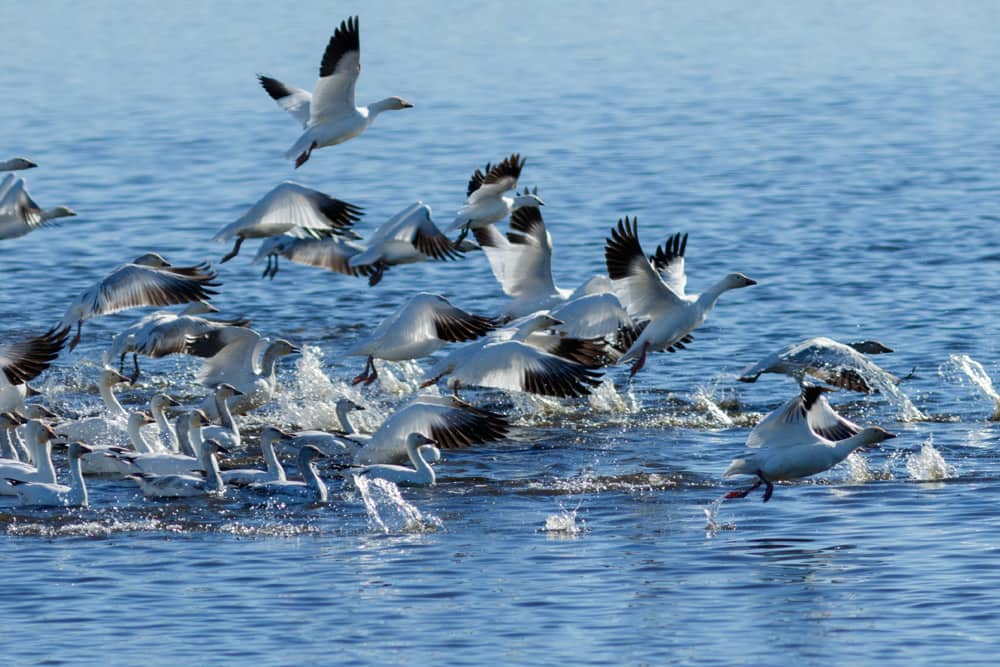 Snow geese migrating in Lower Klamath—one of the best places to bird watch in America