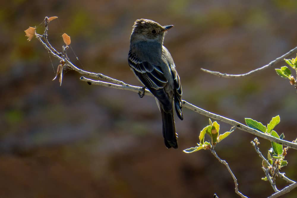 Peewee bird on a birding trail in Las Cruces—one of the best places to bird watch in America