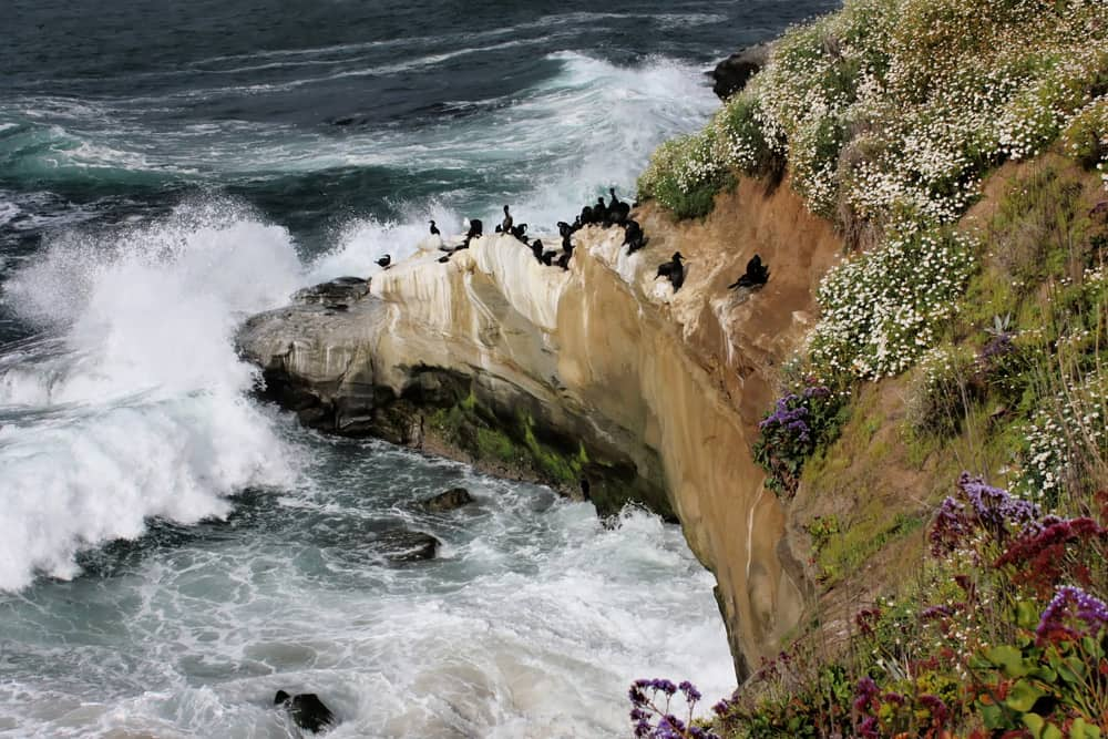 Brandt's cormorant birds gathered on the cliffs in La Jolla, San Diego—one of the best places to bird watch in America