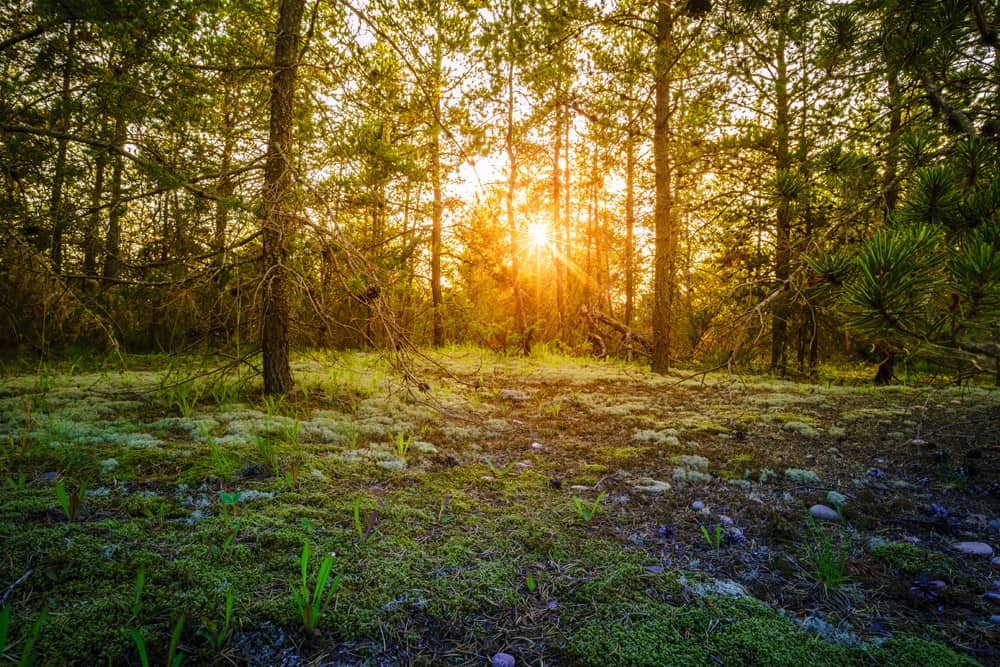 Sunrise in the forest at Whitefish Point Bird Observatory, Seney Township—one of the best places to bird watch in America