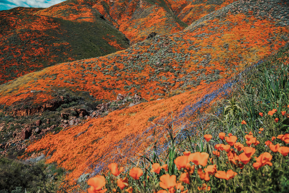Blooming poppies in the hills of Corona California