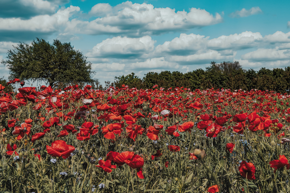 Field of red poppies in Fredericksburg Texas