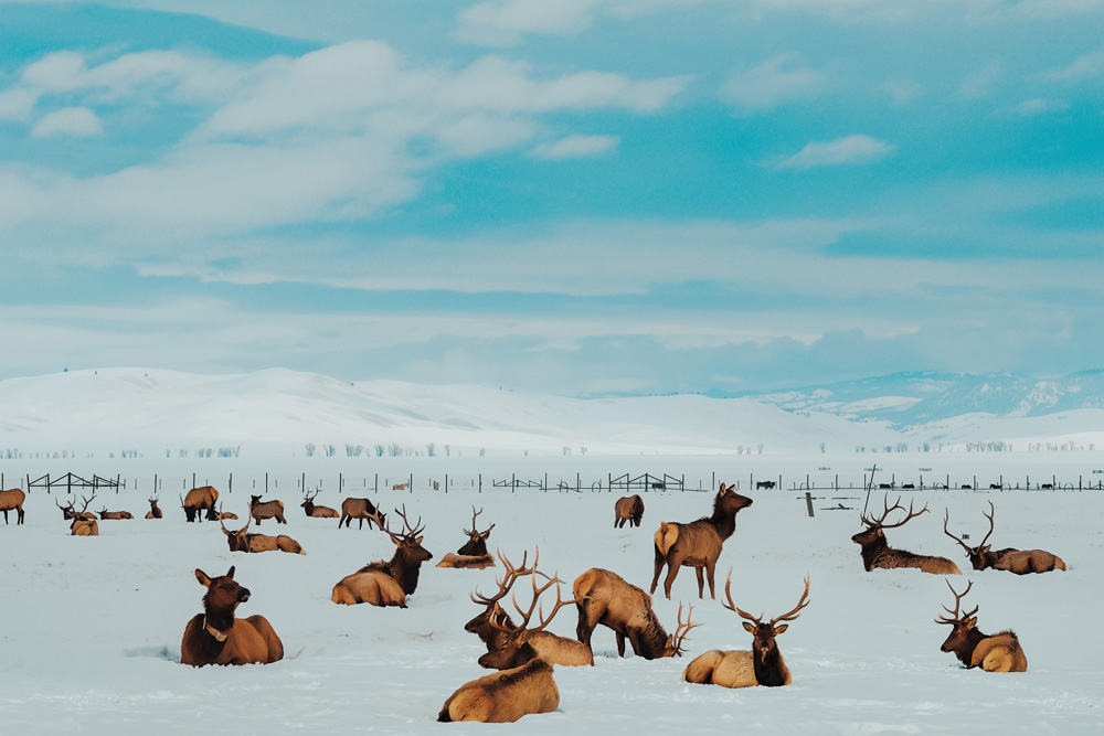 Herd of Elk wintering at the National Elk Refuge in Jackson Hole Wyoming