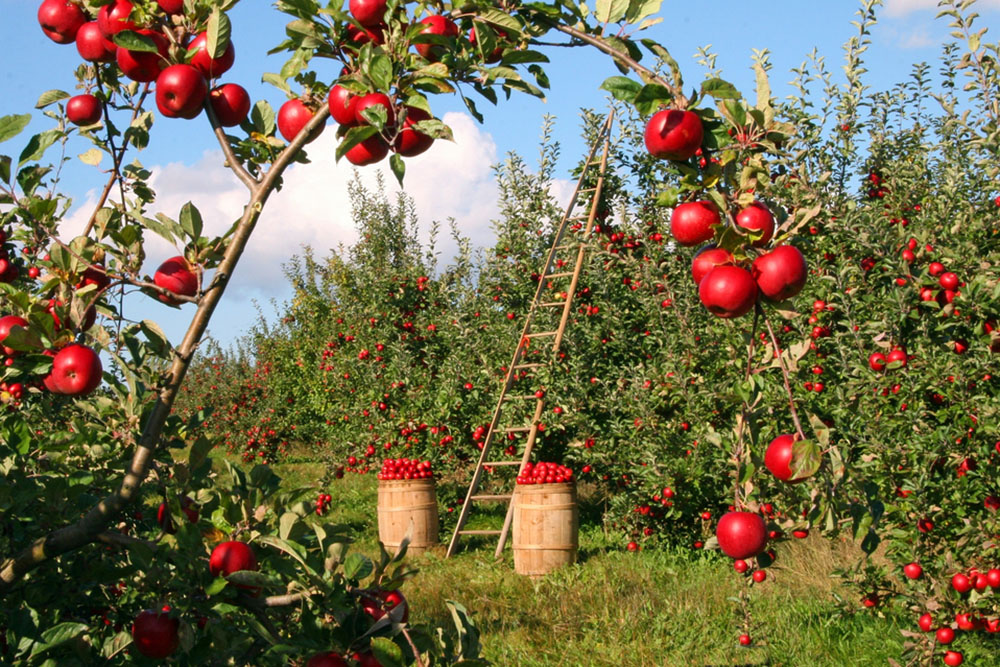 scenic apple orchard full or red apples in wisconsin